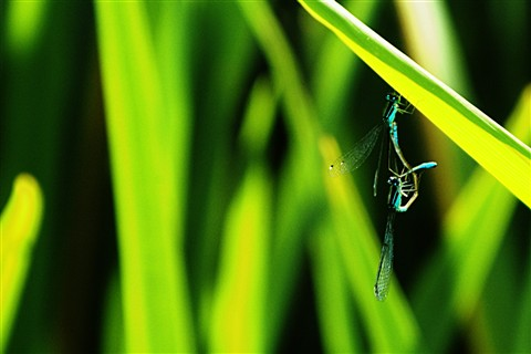 Blue Damselflies hanging on..