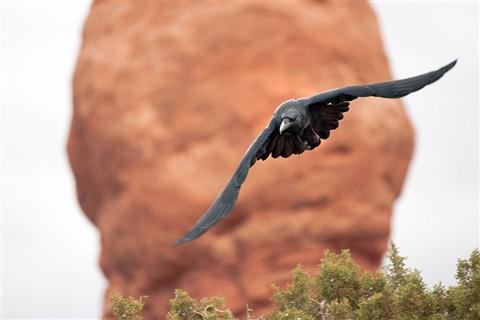 Arches Raven