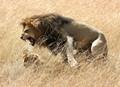Roaring Lion, Maasai Mara National Reserve, Kenya