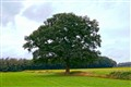 oak in the field