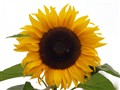 sunflower with bee and fly