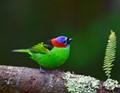 saíra militar (Tangara cyanocephala) - Red-necked Tanager