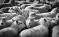 Sheepish 1