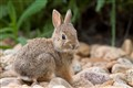 Colorado baby cottontail!