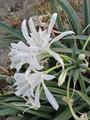 Pancratium maritimum Crete