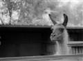 Inquisitive Llama