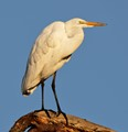 Sunrise Great Egret