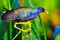 purple gallinule in south florida wetland