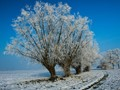 White Willows