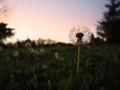 Dandelion's in the meadow