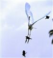 Birds troubling Galling