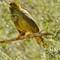 Bell Bird