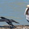 Pelican and cormorant-0742