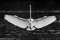 b&w egret wings-2
