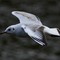 Black Headed Gull BIF Nov13