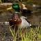 DP-Duck-0863