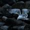 Gulls after lobster scraps-7