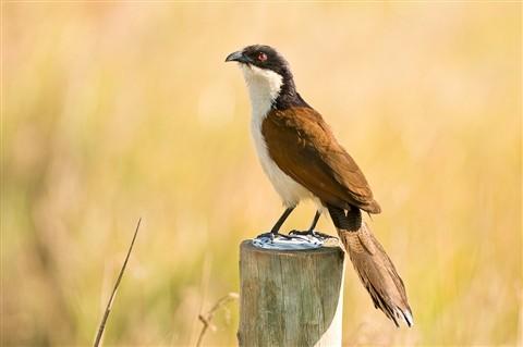 OkavangoBird-_D3C7750