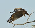 Timbavati Dec 2013 - Tawny eagle 000006