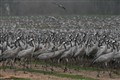 The Crane migration