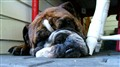 Lincoln English Bulldog Knows How to Nap