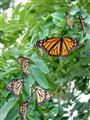 Rapture among the Monarchs.