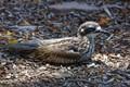 A bush stone curlew resting on the forest floor.