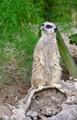 Meerkat lookout!