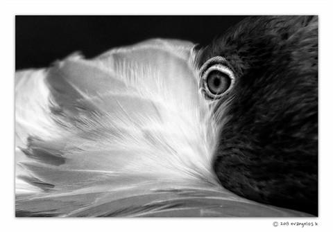 Flamingo Eye-2