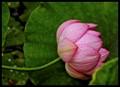 Lotus Flower Resting