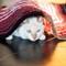"Hiding under carpet: Blue eyed white cat hides under carpet ""tunnel"""