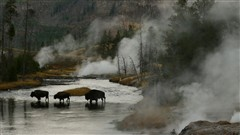 Morning Crossing In Yellowstone