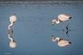 Chilean flamingos feeding in a salt flat lagoon of the Atacama desert