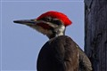 Piliated Woodpecker- Grand Forks BC