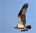 gibralter osprey
