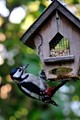 Woodpecker stealing peanuts