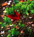 Maple Leaf_3730