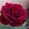 SX230 Rose Macro