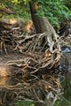 Roots on Tomahawk Creek
