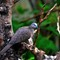 Bali Pigeon