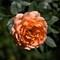 Orange Rose-3261