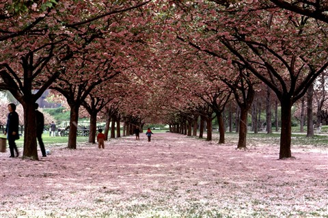 Cherry Blossoms in New York