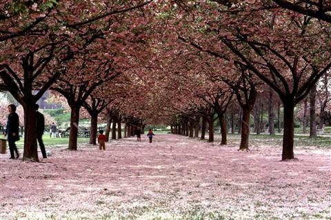 Cherryblossoms.Com