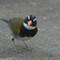Orange-billed Sparrow-3753