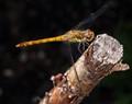sympetrum depressiusculum (Sumpf-Heidelibelle)