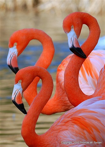 Flamingoes 3