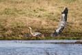 Great Blue Herons (Ardea herodias) in flight