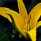 Yellow flower_1592