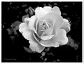 Viennese Rose
