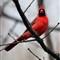 Cardinal_03 19 12_0015_8X10